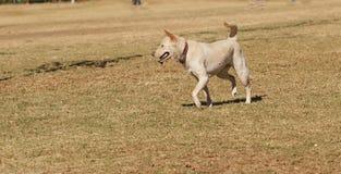 El jugar del perro de la mezcla del labrador retriever Foto de archivo