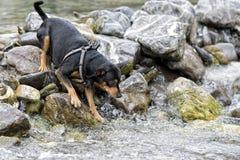 El jugar del perro de Pincher Foto de archivo