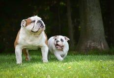 El jugar del perro del perrito y del adulto Fotografía de archivo libre de regalías