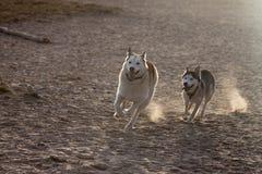 El jugar del perro esquimal Fotos de archivo