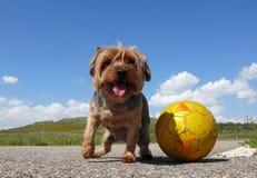 El jugar del terrier de Yorkshire Foto de archivo libre de regalías