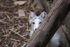 El jugar del zorro ártico Fotos de archivo