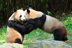 El jugar gigante de dos pandas Imagen de archivo libre de regalías
