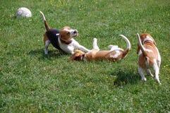 El jugar joven de los beagles Fotografía de archivo