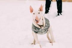 El jugar joven del perro de perrito del Bullterrier de bull terrier del inglés al aire libre Fotos de archivo libres de regalías
