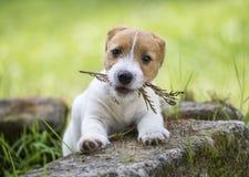 El jugar lindo travieso del perrito del perro casero fotografía de archivo libre de regalías