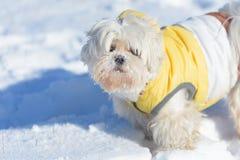 El jugar maltés del perro lindo al aire libre en nieve foto de archivo