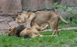 El jugar masculino y femenino del león Fotos de archivo libres de regalías