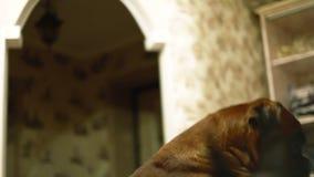 El jugar moreno joven con un perro grande en la cama almacen de video