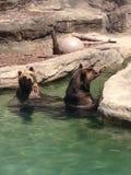 El jugar/natación de los osos Fotografía de archivo