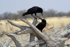 El jugar negro de dos pájaros Imagen de archivo