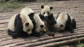 El jugar precioso de cuatro pandas gigantes Imágenes de archivo libres de regalías