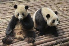 El jugar precioso de dos pandas gigantes Foto de archivo