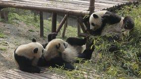 El jugar precioso de las pandas gigantes Imagenes de archivo
