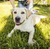El jugar que camina exterior del perro perdiguero feliz joven del perro en parque verde Imagen de archivo libre de regalías