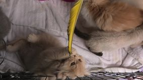 El jugar turco de los gatos del angora almacen de video