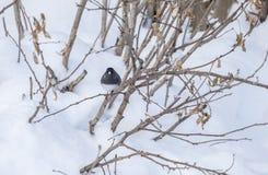 El Junco de ojos oscuros sopla para arriba sus plumas en la nieve Imagen de archivo libre de regalías