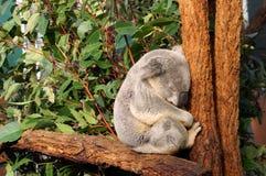 El koala el dormir refiere una ramificación Fotos de archivo