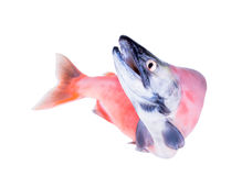 El kokanee es la versión sin mar de los salmones de sockeye Foto de archivo