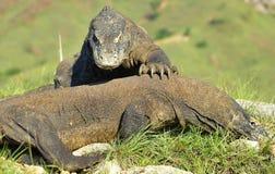 El komodoensis del Varanus del dragón de Comodo que lucha para la dominación Es el lagarto vivo más grande del mundo Isla Rinca I Imagen de archivo