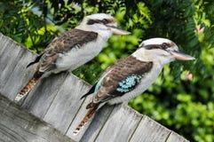 El kookaburra de risa dos se sienta en una cerca de madera Imagenes de archivo