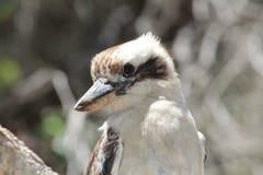 El Kookaburra de risa se sienta en un árbol en la playa de Forresters fotografía de archivo libre de regalías