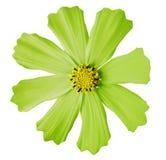 El kosmeya verde claro de la flor, blanco aisló el fondo con la trayectoria de recortes Primer ningunas sombras mediados de amari Foto de archivo libre de regalías