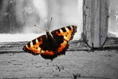 El krapivnitsa encantador de la mariposa en una ventana Fotos de archivo libres de regalías
