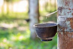 El látex de los flujos de goma abajo del árbol en el arco fotografía de archivo libre de regalías
