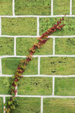 El látigo de uvas salvajes con rojo se va en una pared de piedra Fotografía de archivo libre de regalías