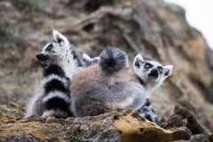 el lémur Anillo-atado amontonó junto Fotografía de archivo libre de regalías