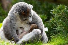 El lémur coronado hermana nacido en Bristol Zoo, Reino Unido imagen de archivo libre de regalías