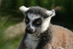 El lémur cuidadoso fotografía de archivo libre de regalías