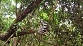 El lémur del Madagascar almacen de metraje de vídeo