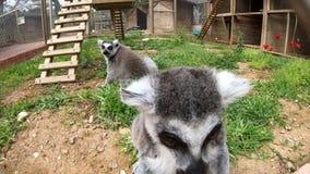 El lémur en el parque zoológico se sienta cerca de la cámara y examina todo alrededor metrajes