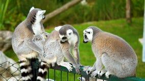 El lémur está alimentando La opinión sobre lémures, día del primer del sammer, se divierte el días de fiesta almacen de video