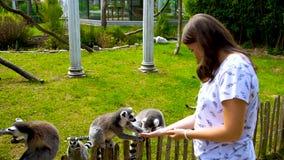 El lémur está alimentando, los ojos amarillos, manteniendo la alimentación a mano, parque zoológico, día de verano, al aire libre almacen de metraje de vídeo