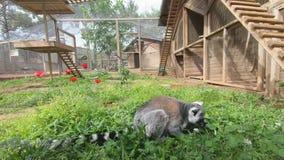 El lémur hermoso sienta y mastica la hierba verde que crece en la tierra almacen de video