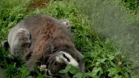 El lémur que se sienta en la hierba verde, cavando en la tierra, eso está buscando algo almacen de video