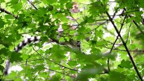 El lémur se está sentando en una rama en un bosque verde en un día de verano caliente almacen de metraje de vídeo