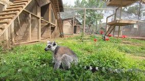 El lémur se sienta en la hierba verde, mira alrededor y escoge la tierra almacen de metraje de vídeo