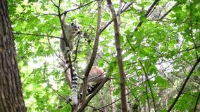 El lémur se sienta en una rama en un bosque verde y los chews, comen una rama seca, en un día de verano caliente almacen de metraje de vídeo