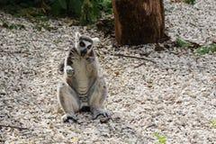 El lémur sienta y come una hierba Foto de archivo