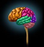 El lóbulo del cerebro secciona las divisiones de neurológico mental Imágenes de archivo libres de regalías