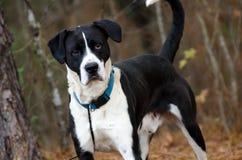 El laboratorio blanco y negro del boxeador mezcló la foto de la adopción del perro de la raza, Walton County Animal Control Imagen de archivo