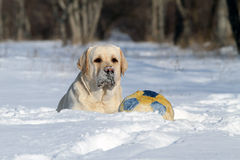 El Labrador amarillo agradable en invierno en nieve con una bola Imagen de archivo libre de regalías