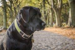 El labrador retriever del perro negro se está sentando en el camino forestal Foto de archivo libre de regalías