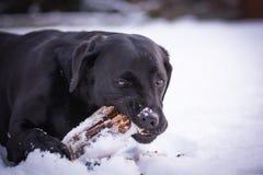 El labrador retriever negro está jugando con el palillo en el invierno, nieve alrededor de un perro Fotos de archivo