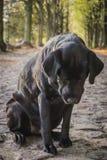 El labrador retriever negro se sienta en el camino forestal Fotografía de archivo
