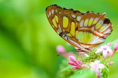 El Lacewing Buterfly Fotos de archivo libres de regalías